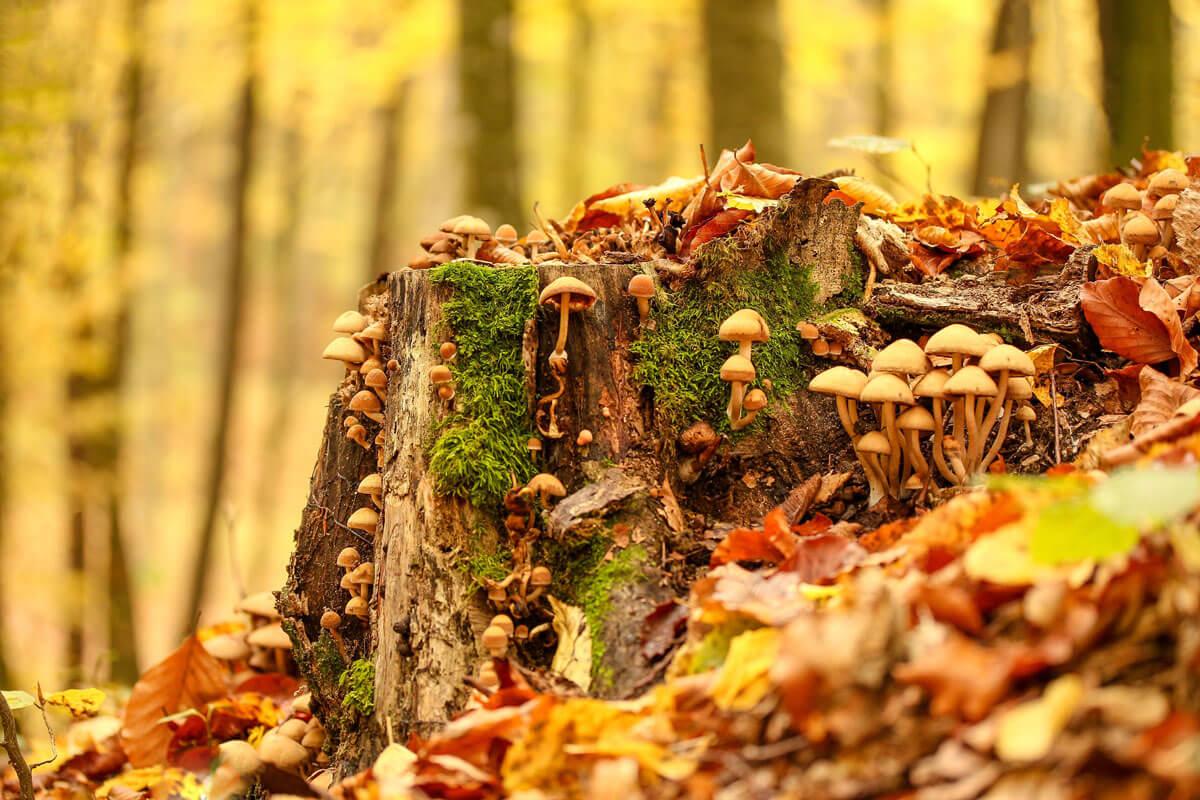 Pilze im herbstlichen Wald